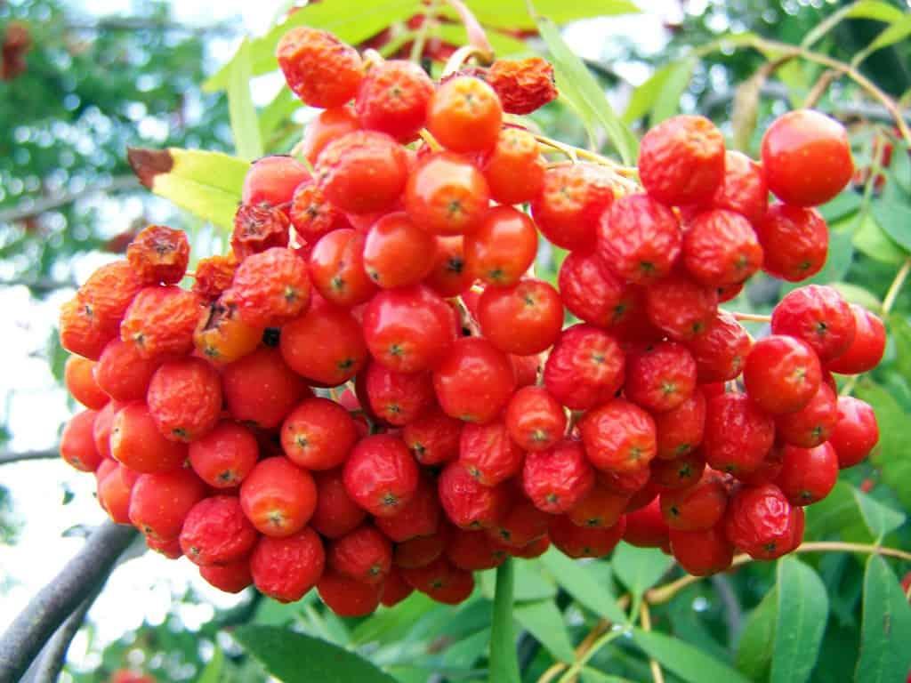 Die roten Früchte der Eberesche