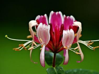 Blüte eines Geißblattes