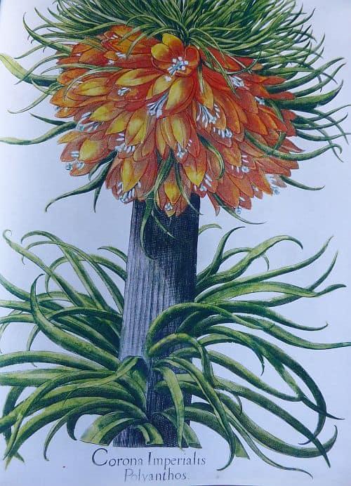Ein gezeichnete Kaiserkrone aus dem Hortus Eystettensis