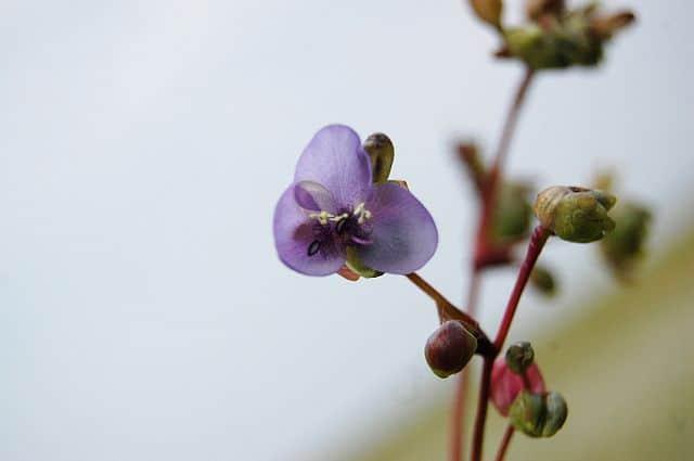 Die zarte Blüte der Murdannia