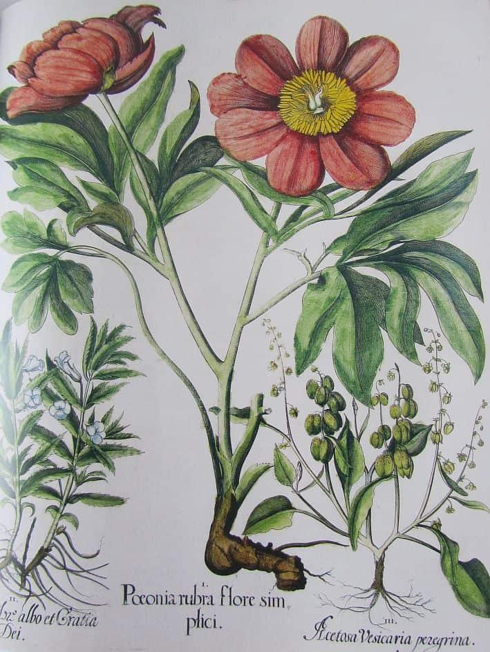 Postkartenmotiv aus dem Hortus Eystettensis