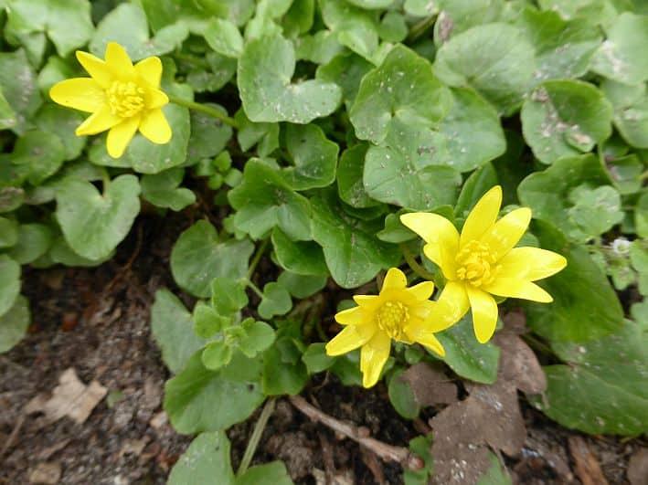 Die gelbe Blüte des Scharbockskrautes