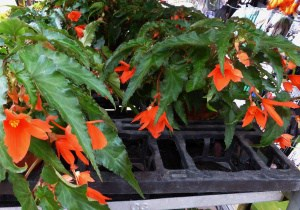 Begonien – Garanten für Blütenfülle über den ganzen Sommer