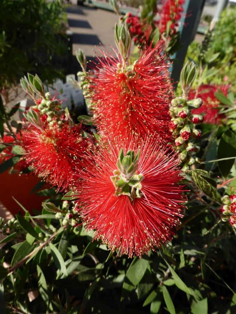 Eine prächtig blühende Zylinderputzerpflanze