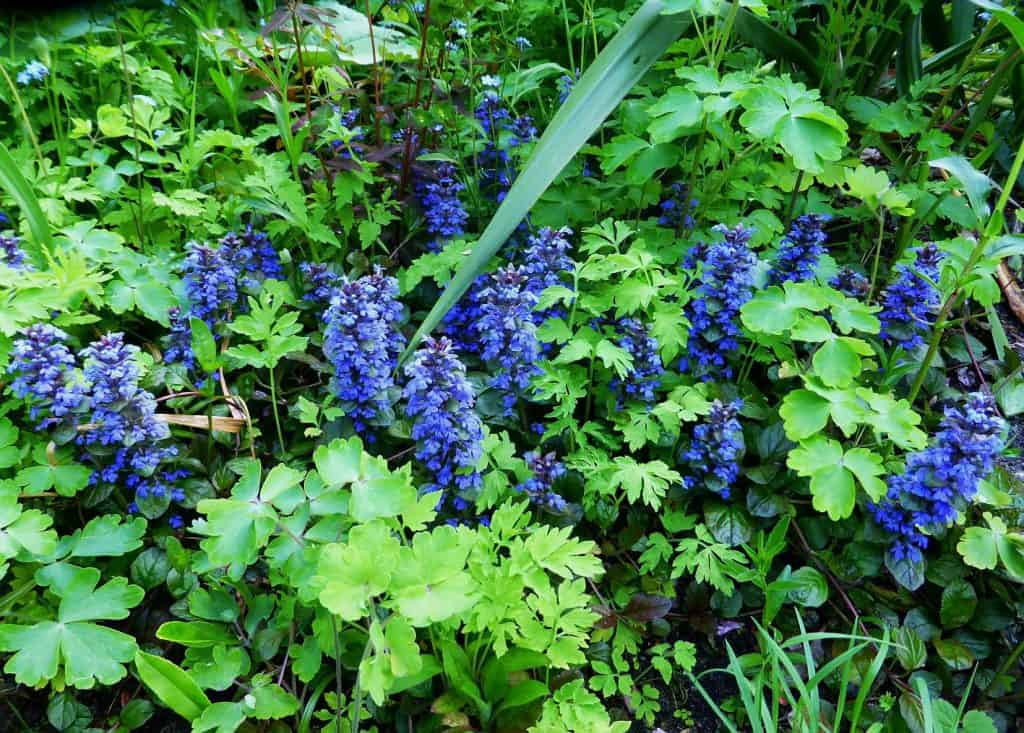 Günsel und Gundermann – Bodendecker für schattige Bereiche