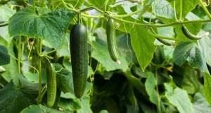 Gurken im Freiland anbauen und ernten