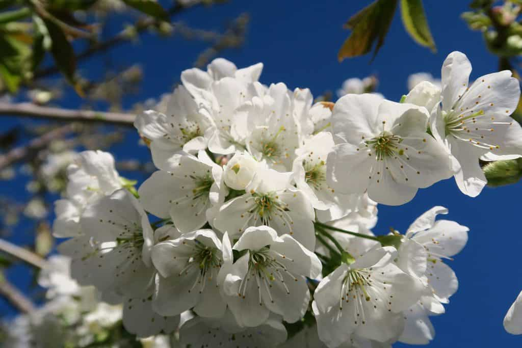 Prächtige Kirschblüten