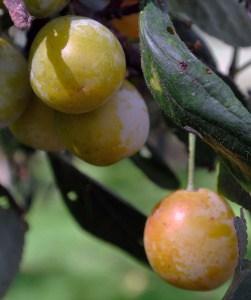 Alte Obstsorten in Deutschland – die verlorene Vielfalt