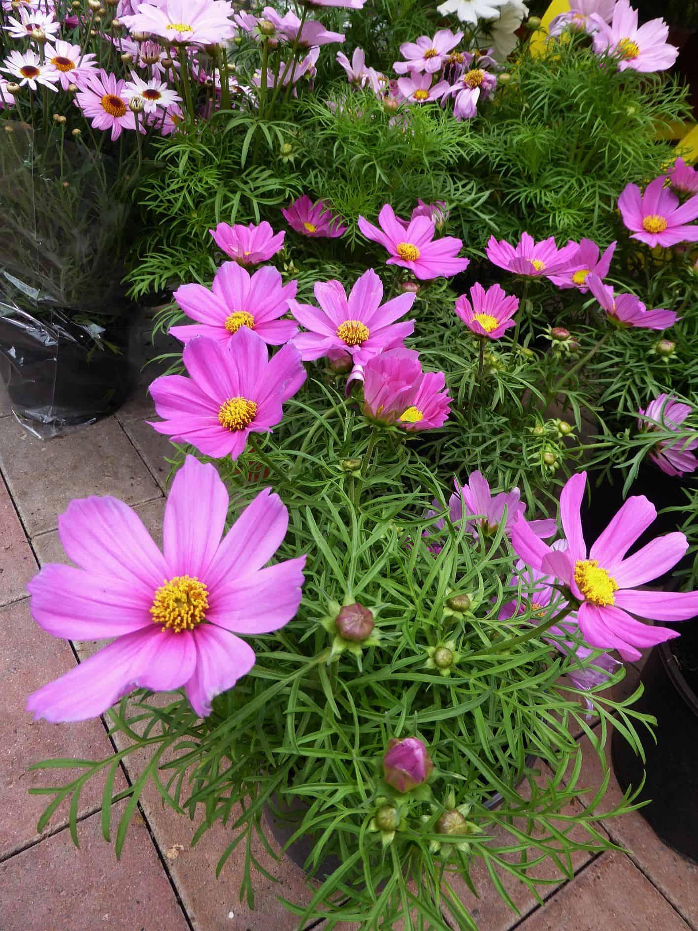 Sensation Schmuckkörbchen Cosmos Blumen 25 Samen