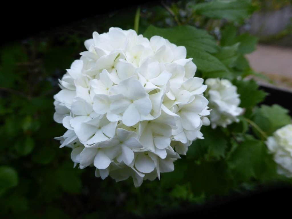 Blüte des Schneeballs