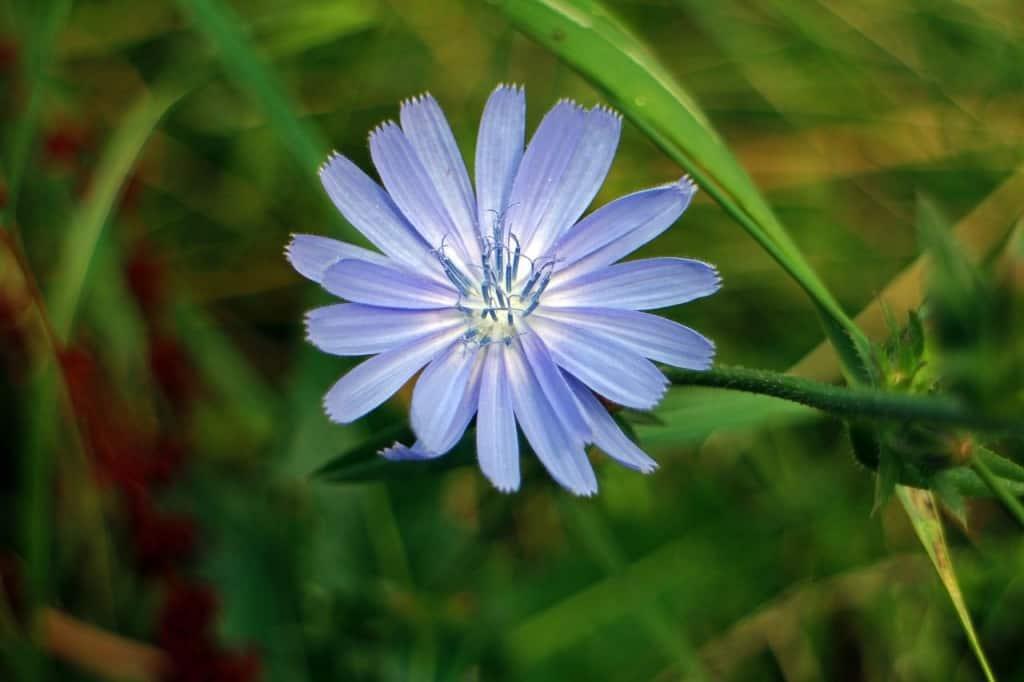 Die blaue Blüte der Wegwarte