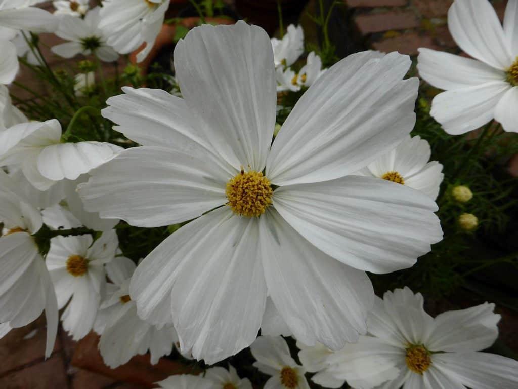 Eine prächtige Cosmea-Blüte