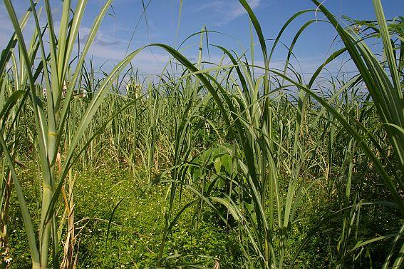 Blick in ein Zuckerohrfeld