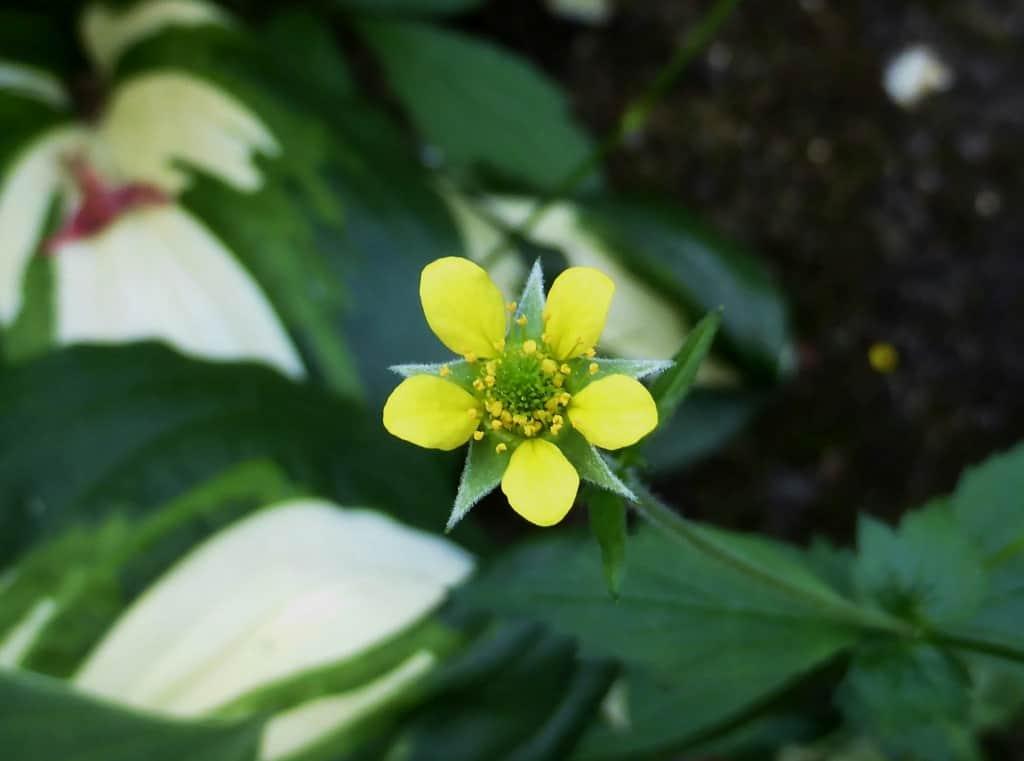 Eine gelbe Blüte des Echten Nelkenwurz