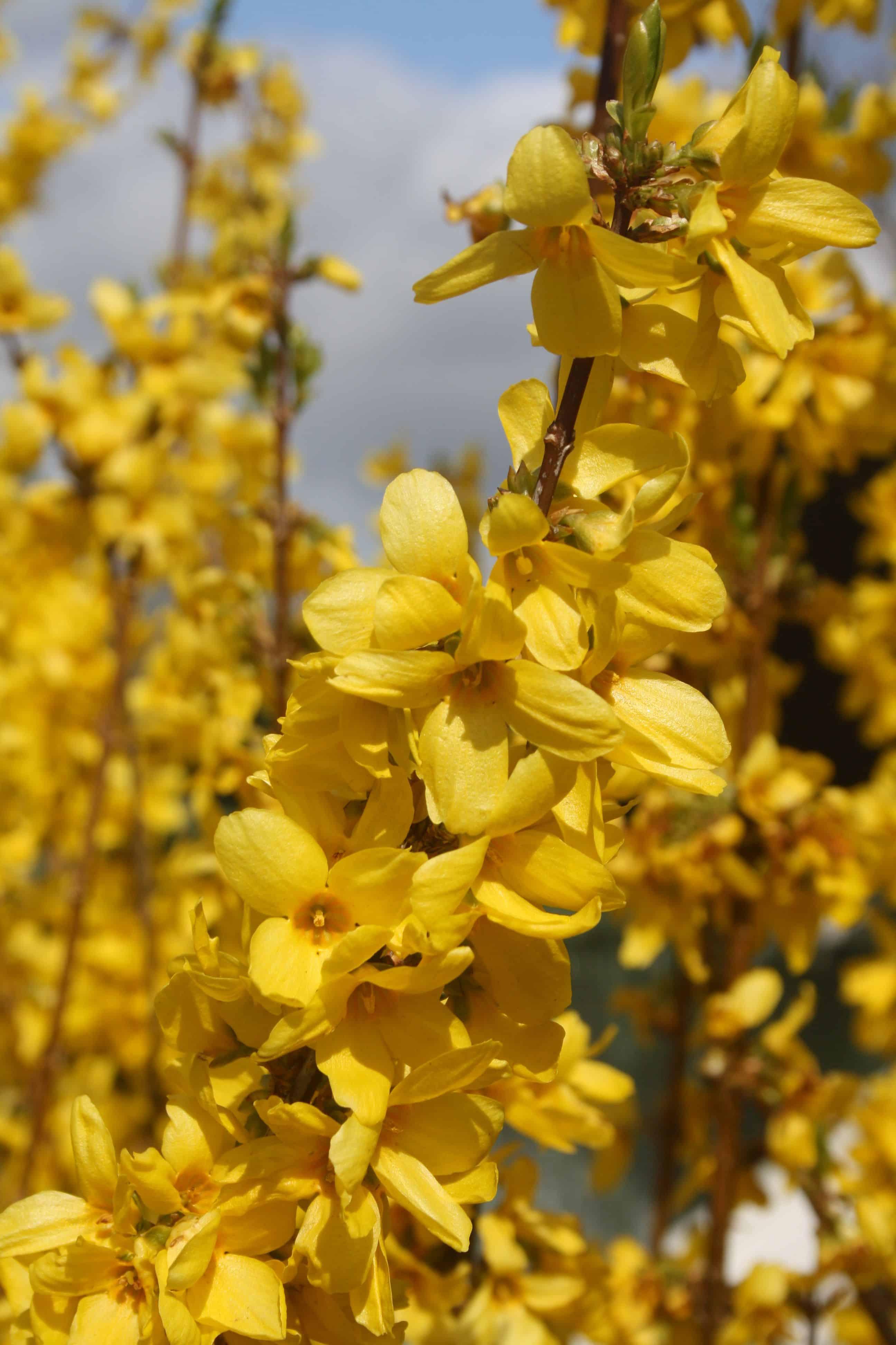 Eine gelb blühende Forsythie