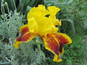 Iris – eine vielseitige Staude