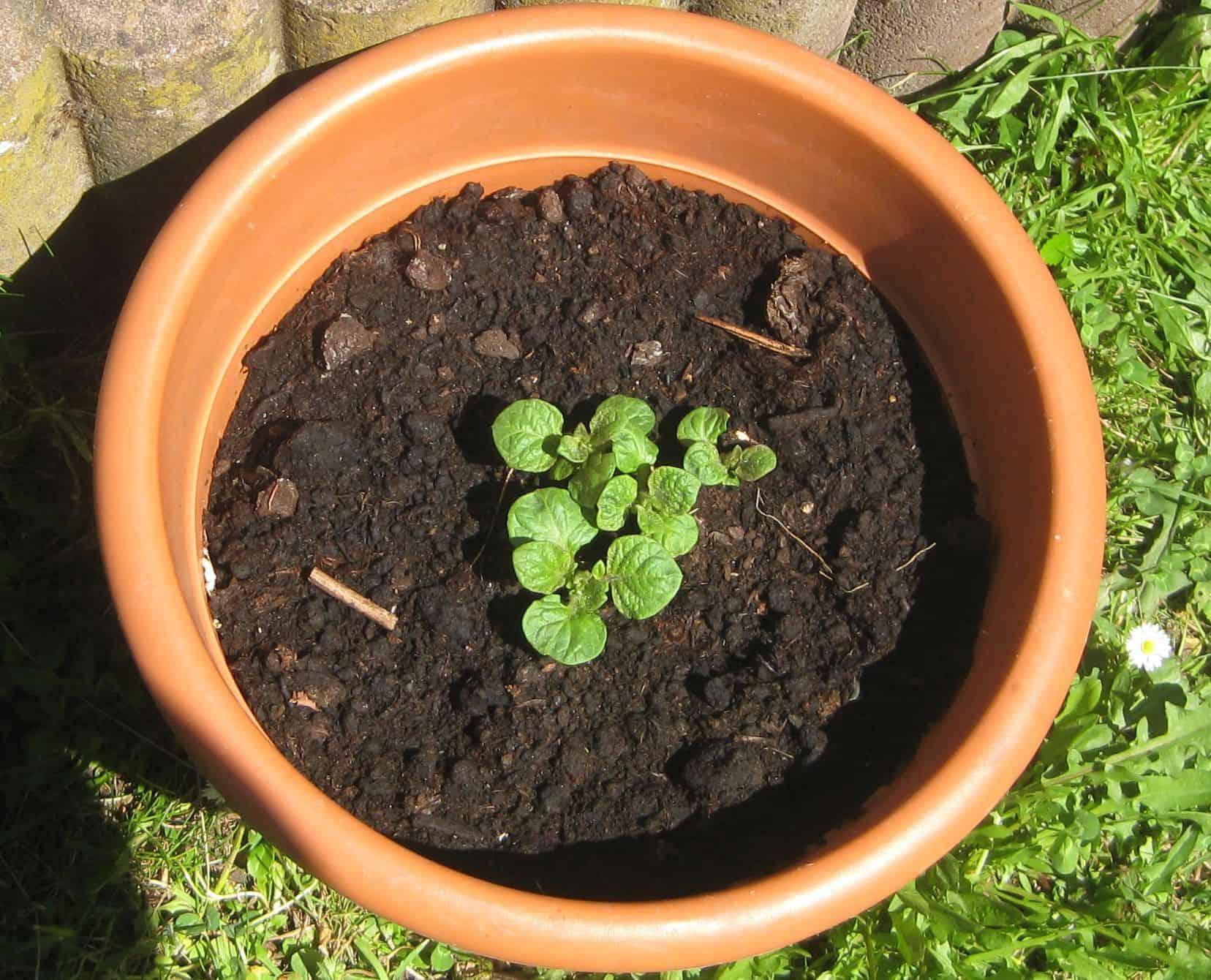 Erste Triebe einer Kartoffelpflanze im Topf