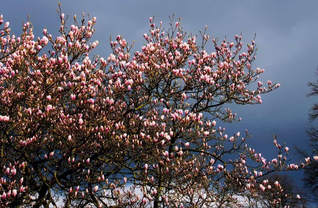 die magnolie begehrtes ziergeh lz nachgeharkt. Black Bedroom Furniture Sets. Home Design Ideas
