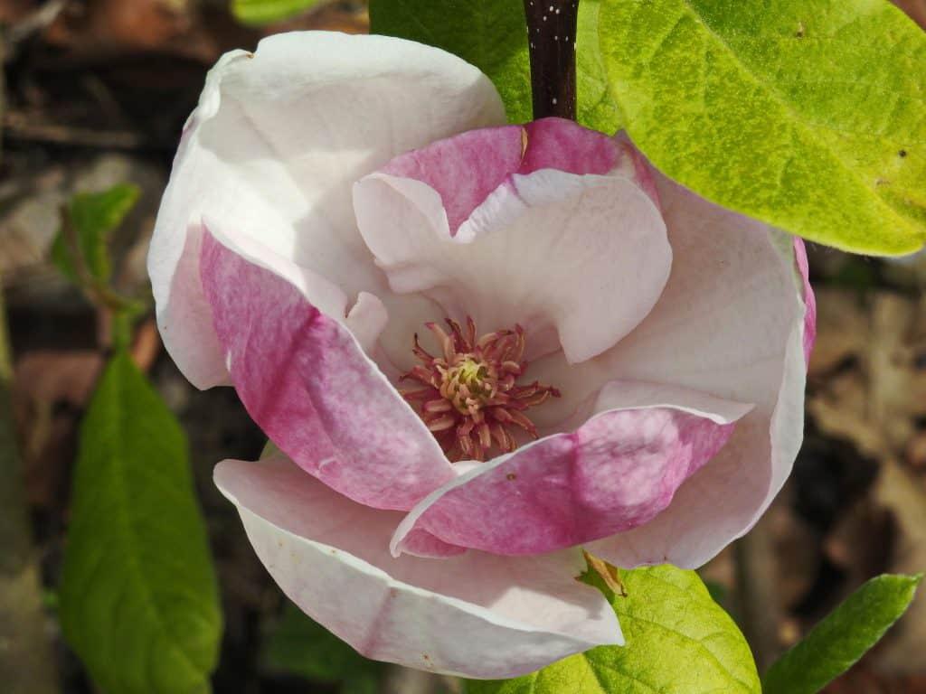 Eine Magnolienblüte
