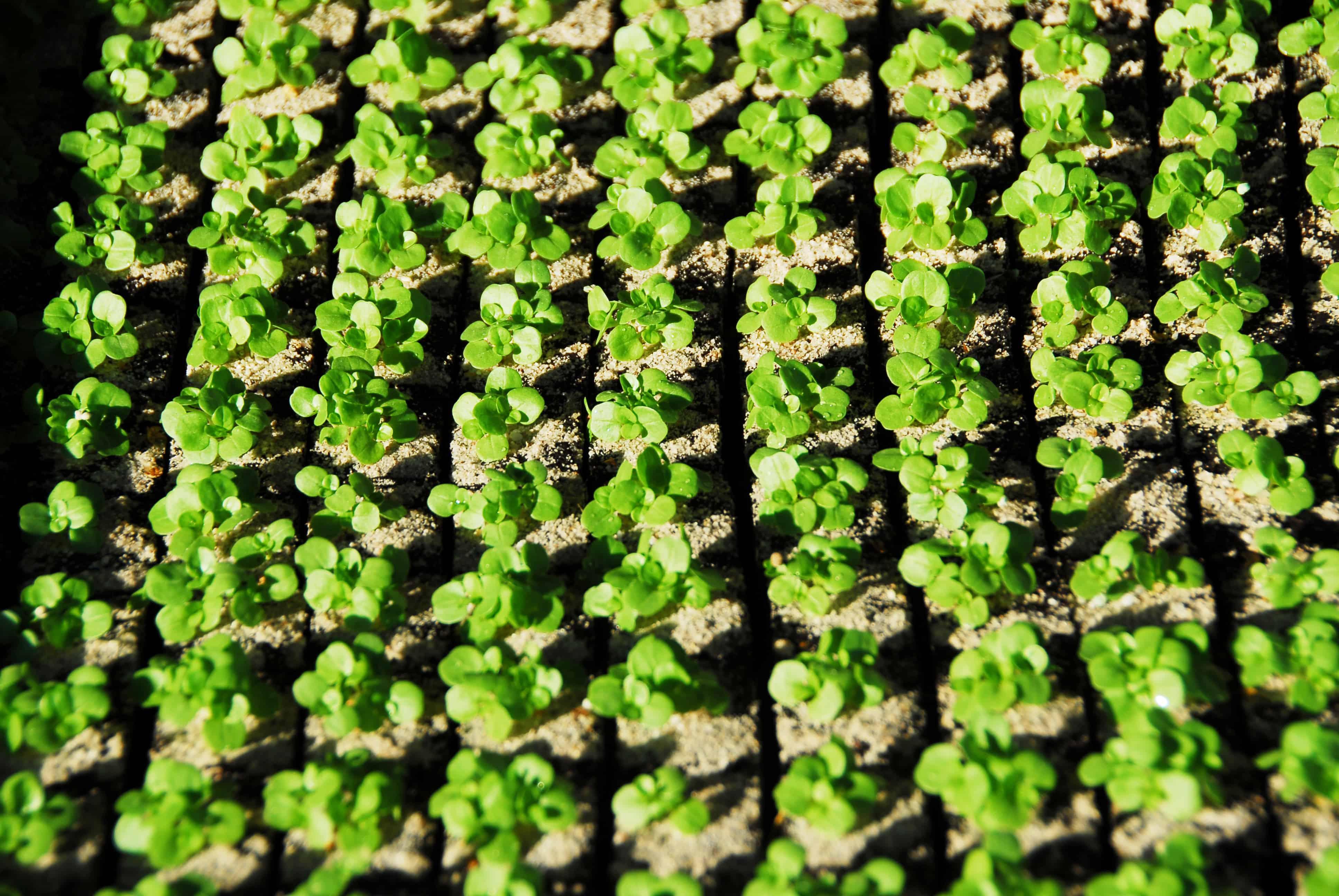 Salatsetzlinge in Reihen
