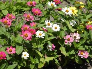 Zinnien – einjährige Sommerblumen aus Mexiko