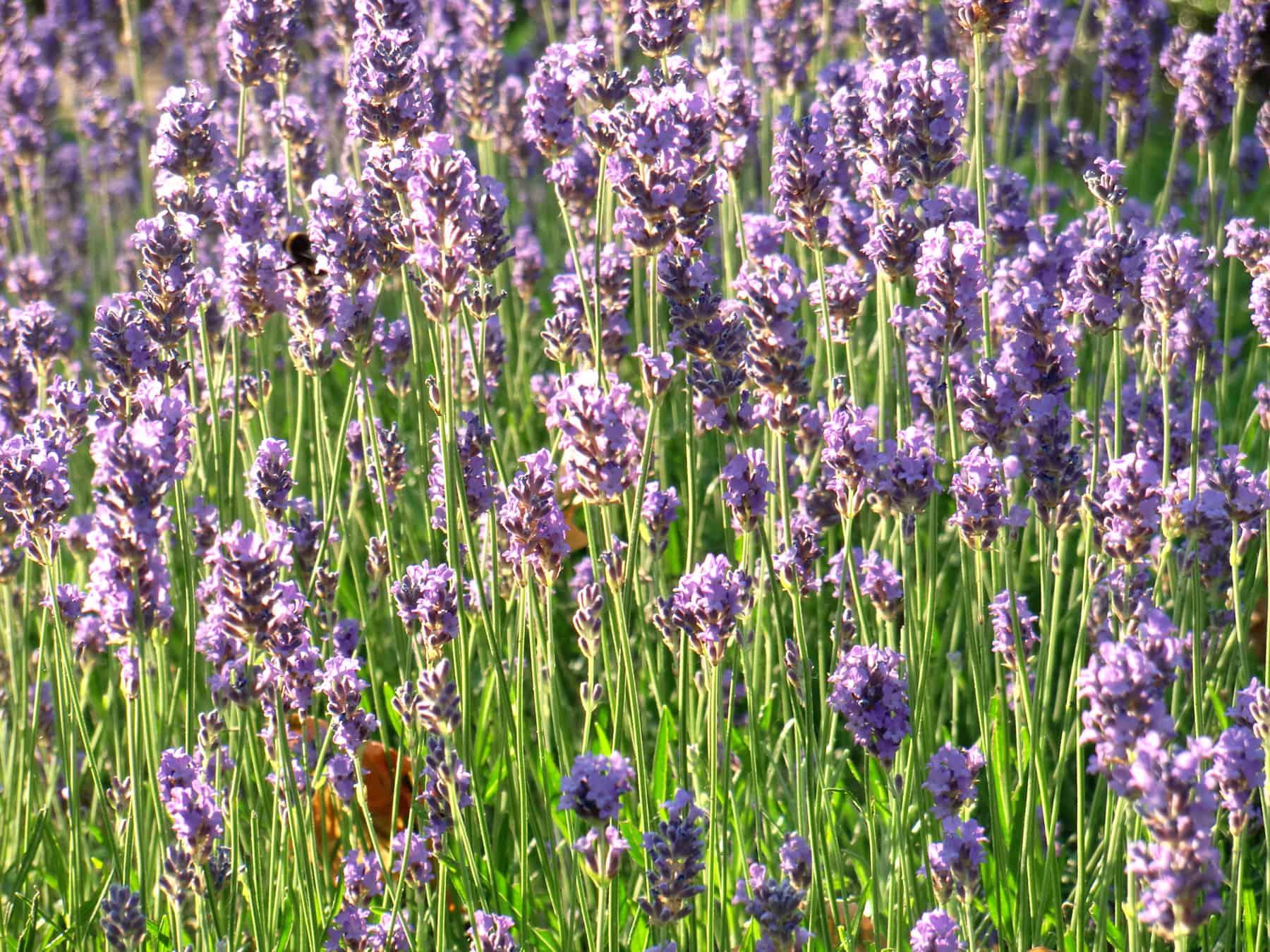Ein blühendes Lavendelfeld