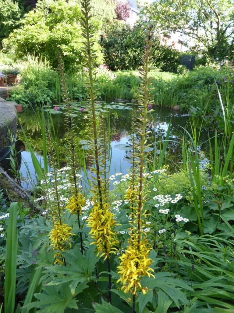 Gelb blühende Ligularia przewalskii