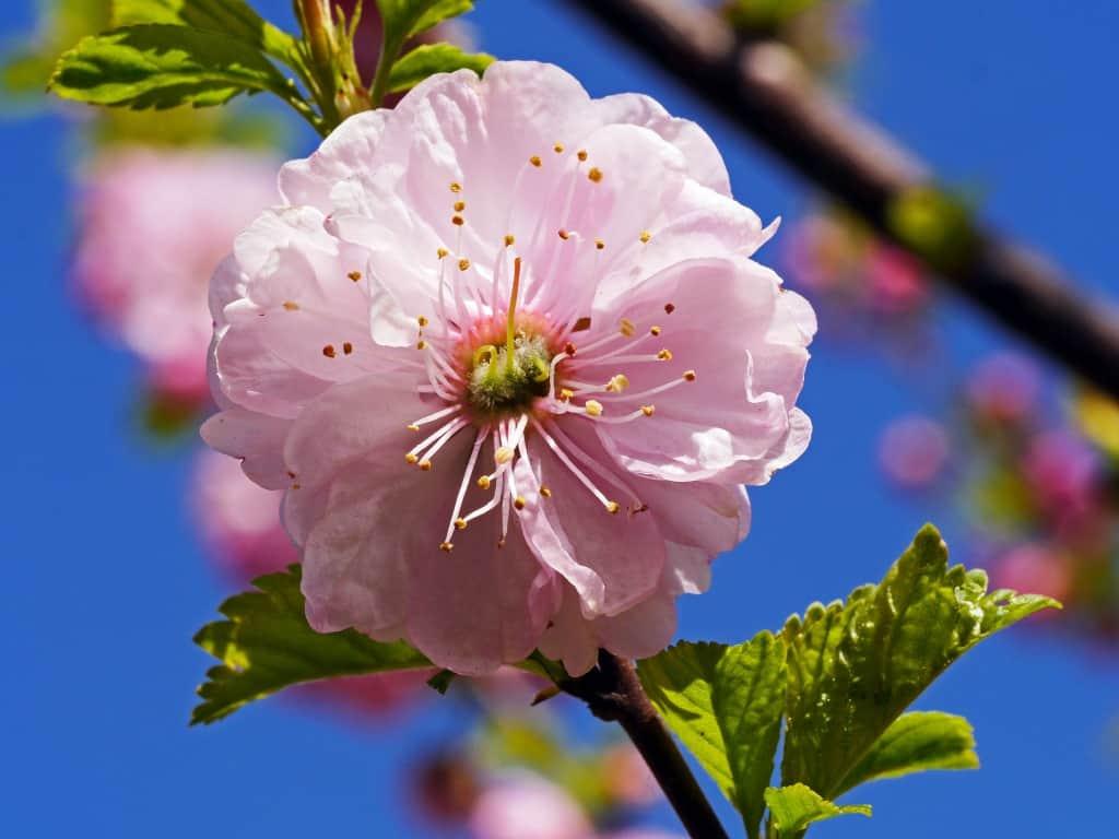 Eine rosafarbene Mandelblüte