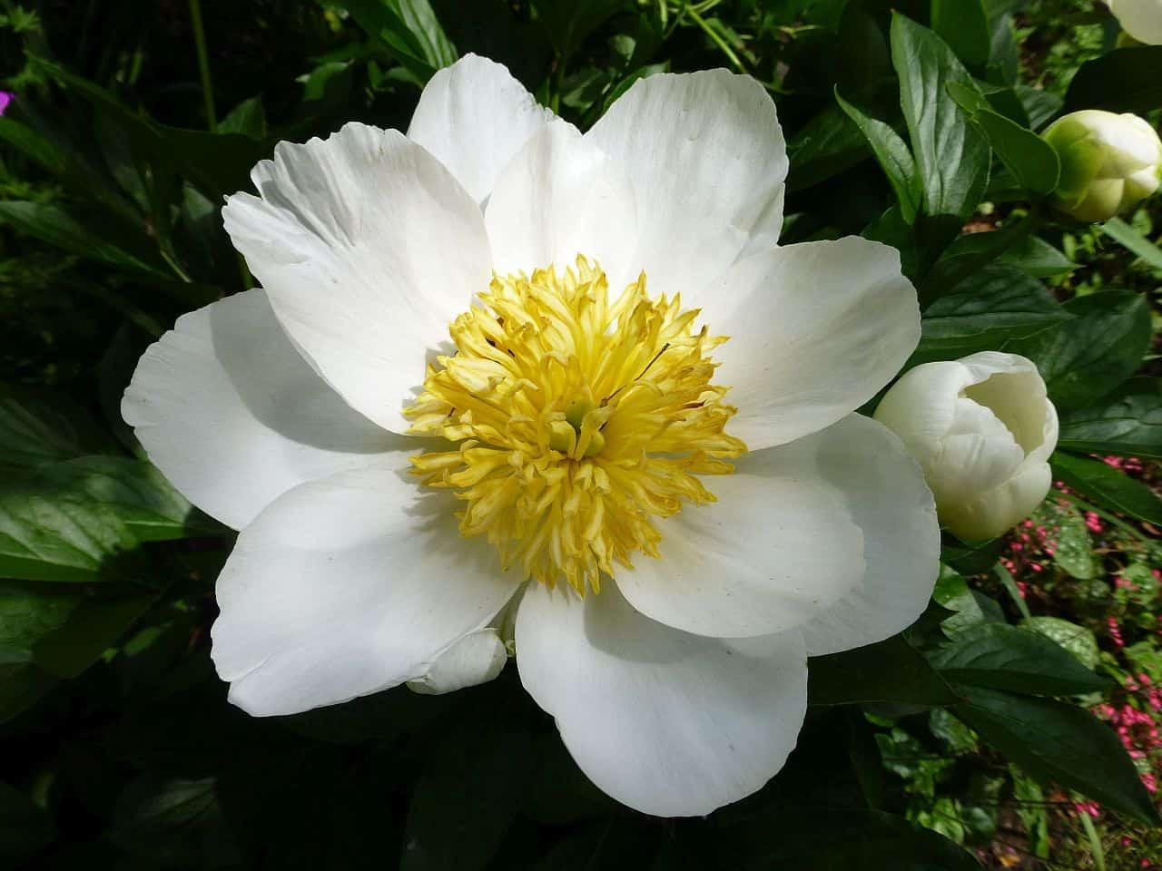 Blüte der Päonie