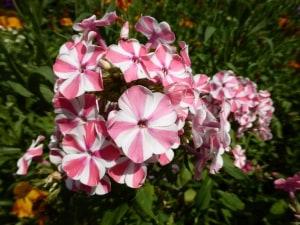 Phlox – Blütenpracht vom Frühling bis zum Herbst