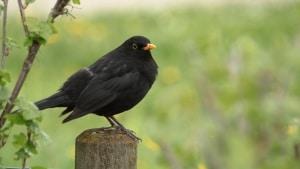 Die wichtigsten Gartenvögel