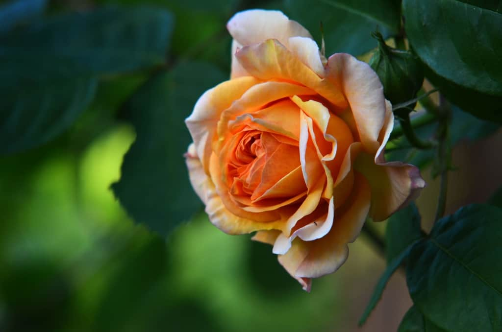 Eine prächtige Englische Rose