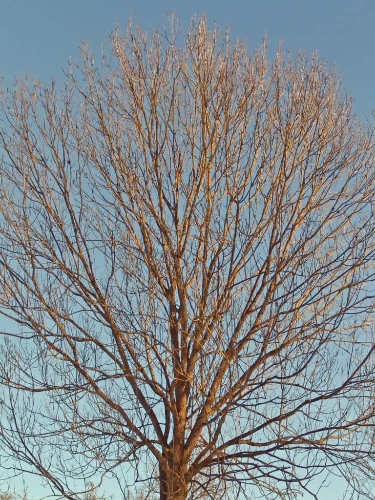 Eine Esche im Winter