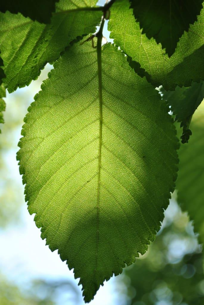 Ein grünes Eschenblatt