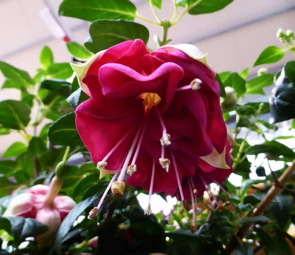 Fuchsienblüte