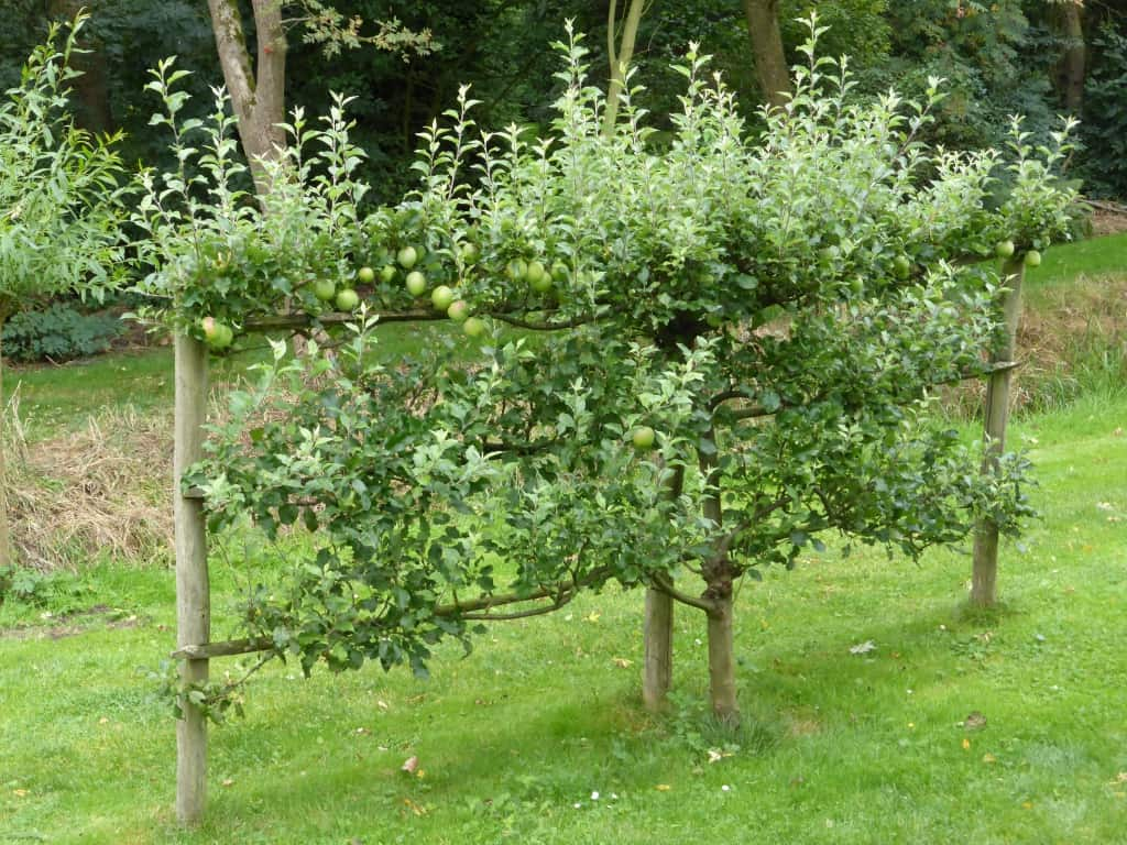 Obst an Spalierbäumen