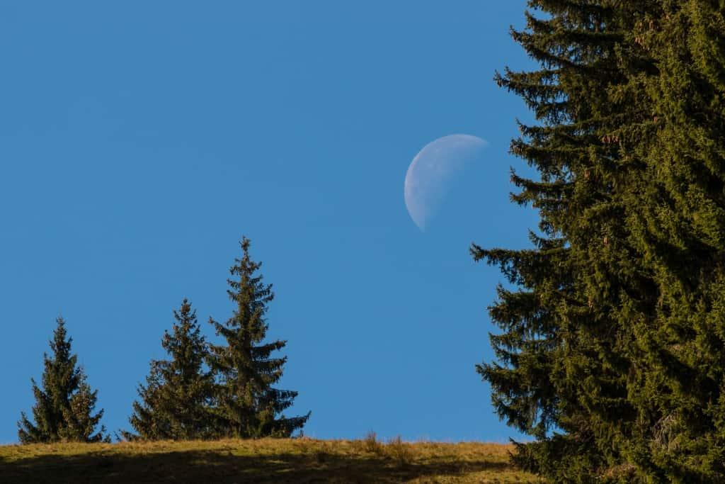 Tannen im Mondschein