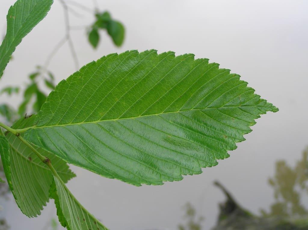 Ein Ulmenblatt