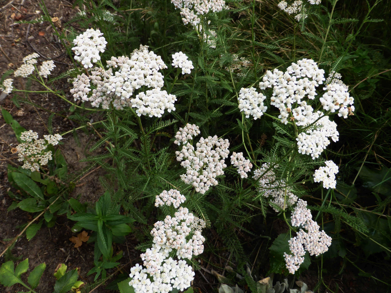 Schafgarbe – Heilkraut und vielseitige Zierpflanze
