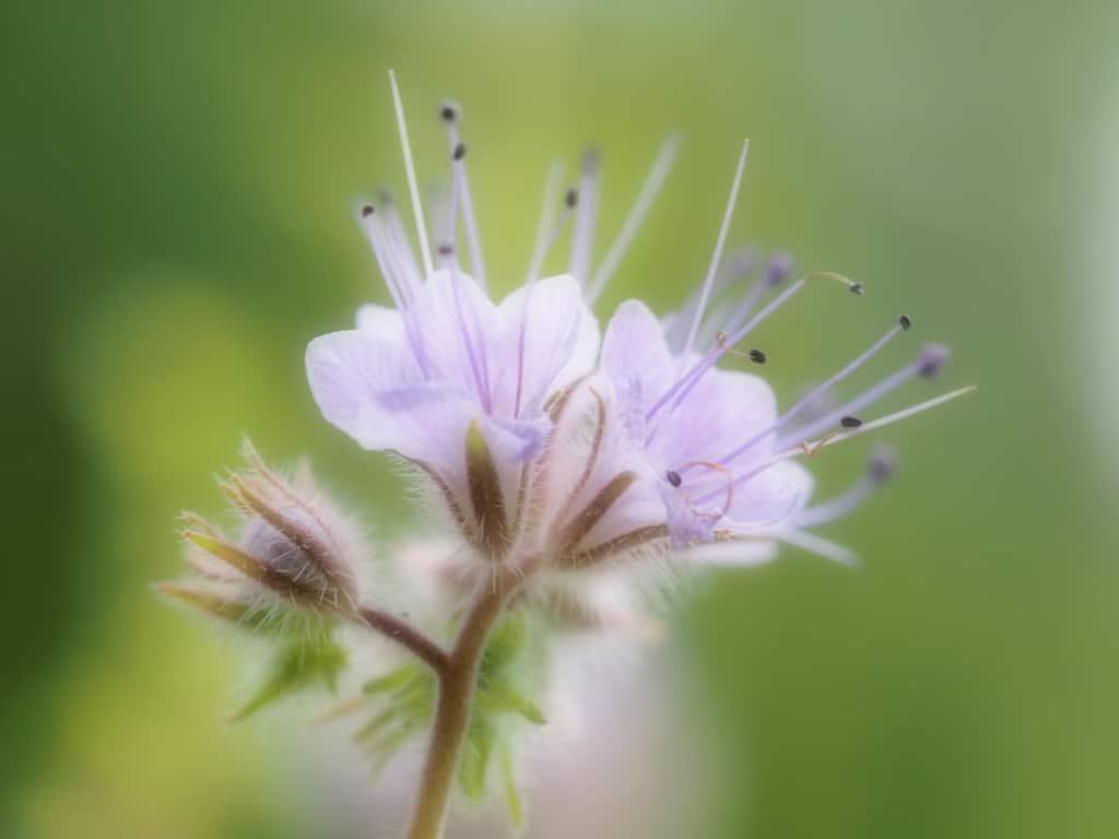Eine Phacella-Blüte