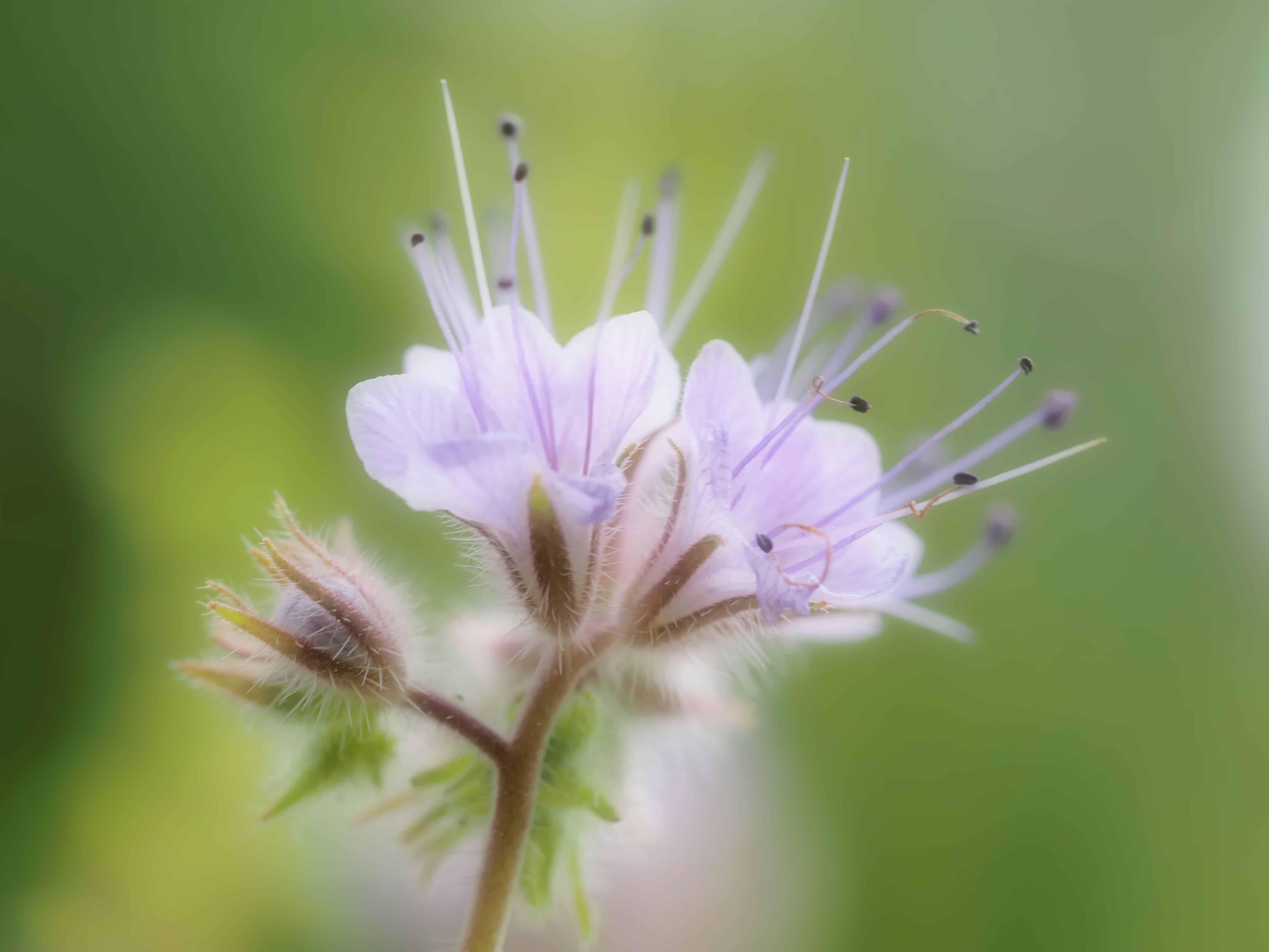 Phacelia – der hübsche Bienenfreund