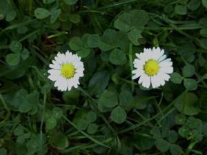 Das Gänseblümchen – klein aber oho