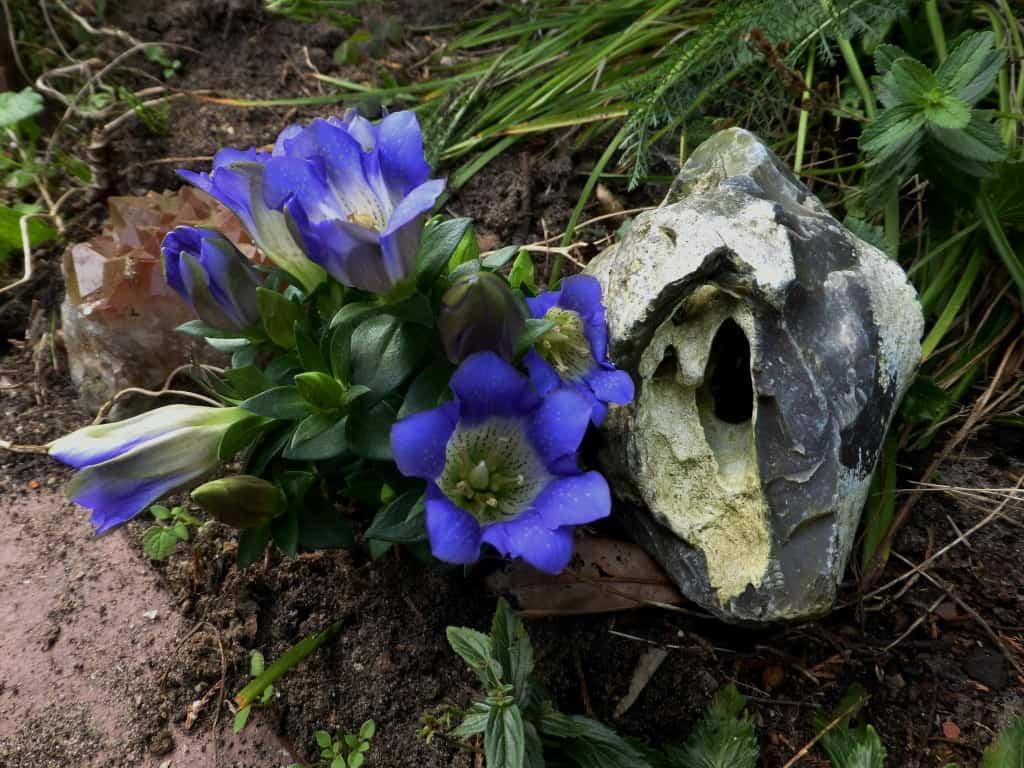 Blauer Gartenmenzian
