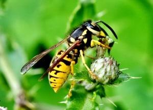 Wespen – lästig aber nützlich