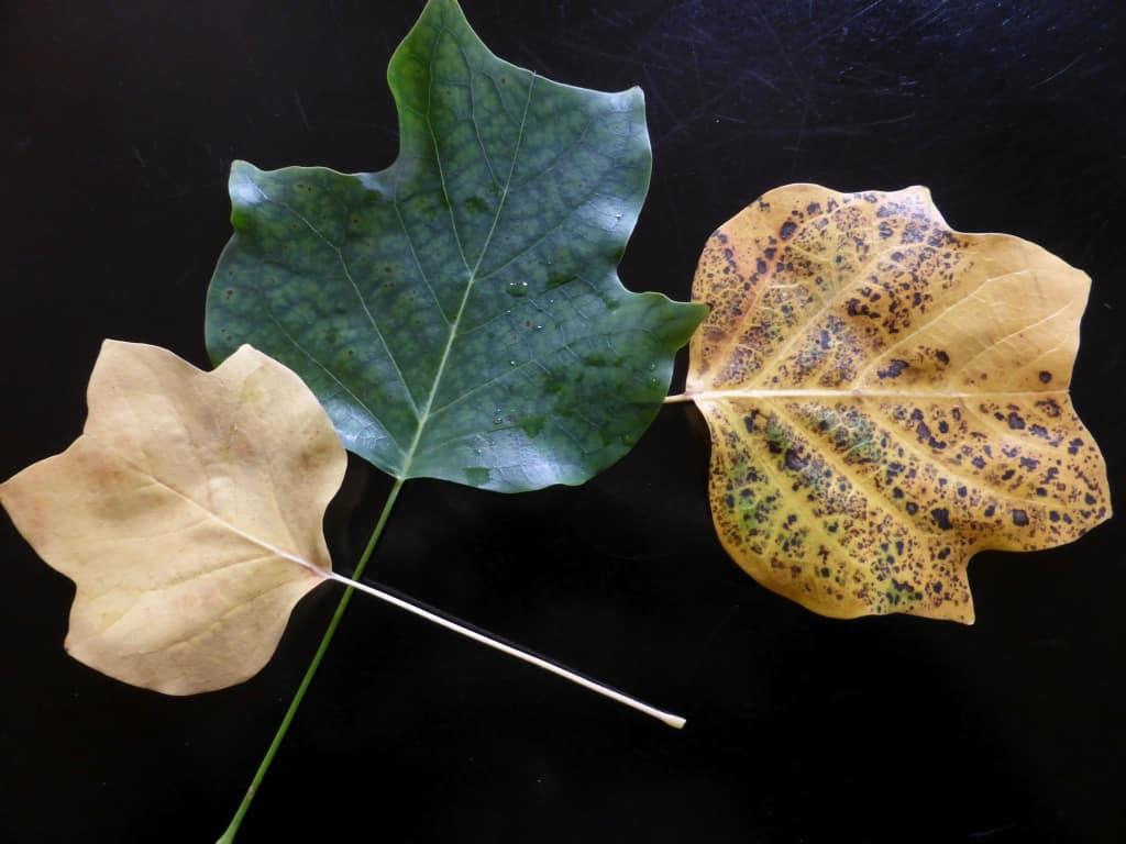 Blätter des Tulpenbaums