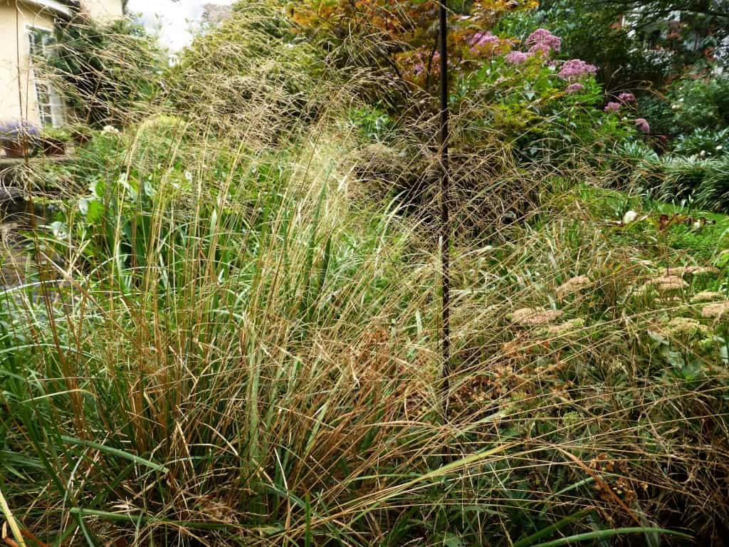 Das Gras Deschampsia