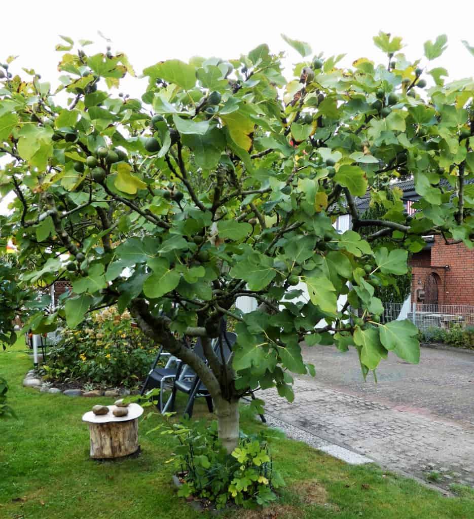 Ein kleiner Feigenbaum