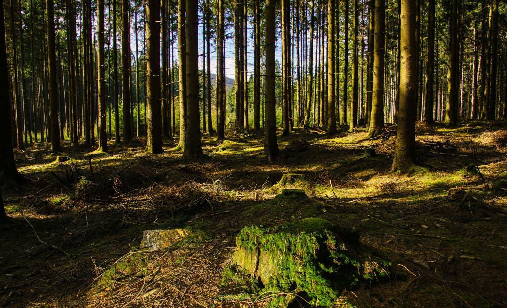 Ein Fichtenwald