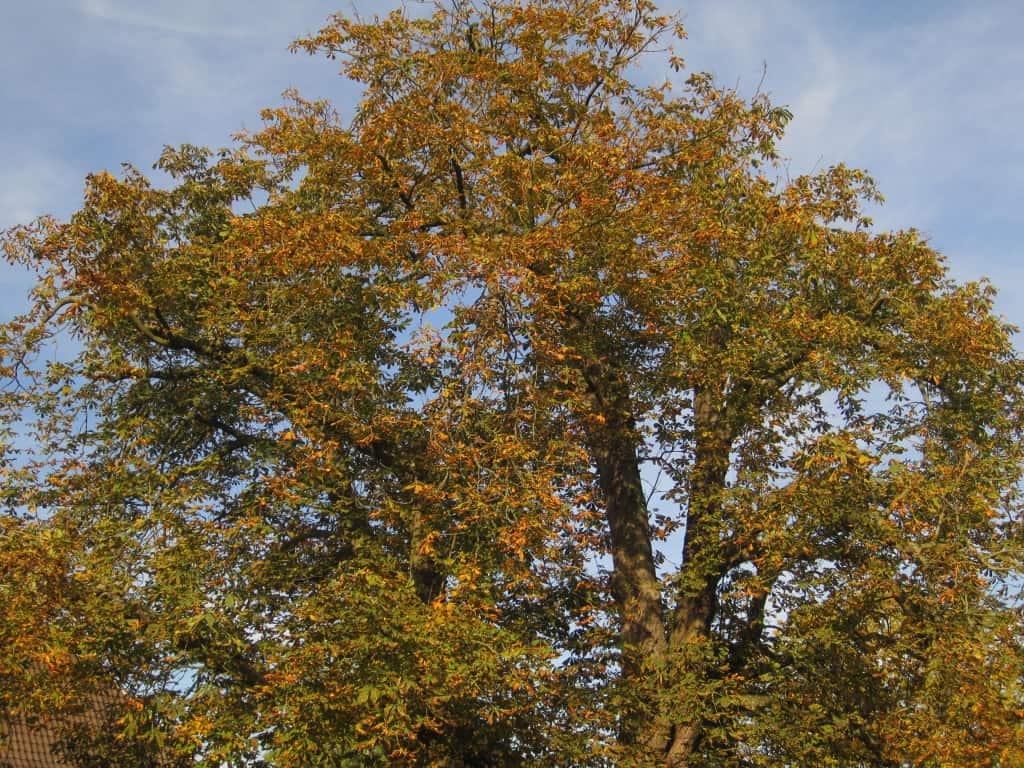 Ein stattlicher Kastanienbaum