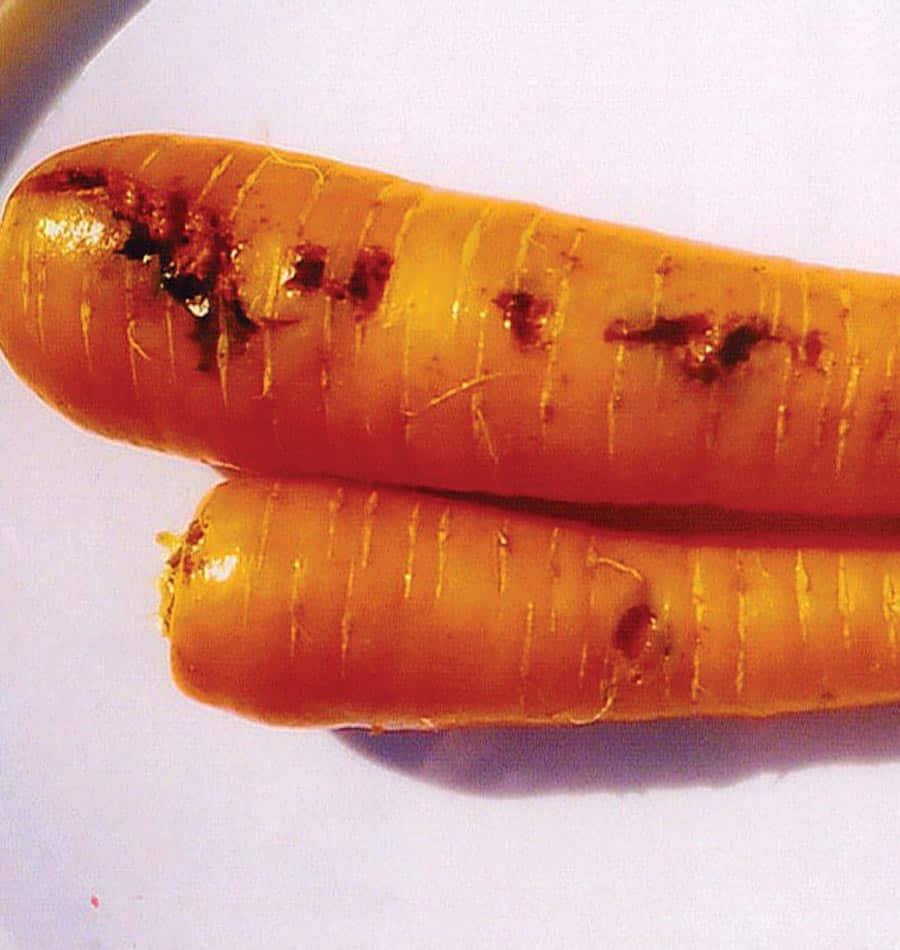 Von Möhrenfliegen befallene Karotten